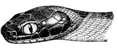 Голова индийской бойги (Boiga trigonatum), черный рисунок картинка