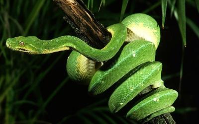 Зеленый древесный питон (Chondropython viridis), фото фотография