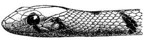 Голова поперечнополосатого полоза (Coluber karelini), черный рисунок картинка