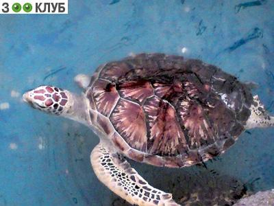 Логгерхед, головастая черепаха (Caretta caretta, Testudo caretta), фото фотография