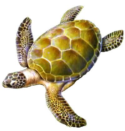 Зеленая, или суповая черепаха (Chelonia mydas), рисунок картинка