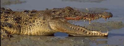 крокодил, фотография