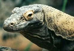 варан гигантский, варан комодский, варан комодосский, дракон комодо (Varanus komodoensis), фото, фотография