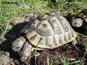 балканская черепаха, черепаъа балканская (Testudo hermanni), фото, фотография