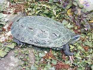 каспийская черепаха, черепаха каспийская (Mauremys caspica, Clemmys caspica), фото, фотография