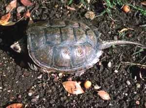 Черепашка, фото фотография, рептилии пресмыкающиеся