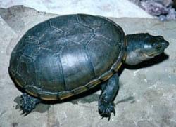 пенсильванская иловая черепаха, замыкающаяся черепаха (Kinosternon subrubrum), фото, фотография