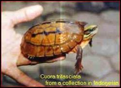 шарнирная черепаха, фото, фотография