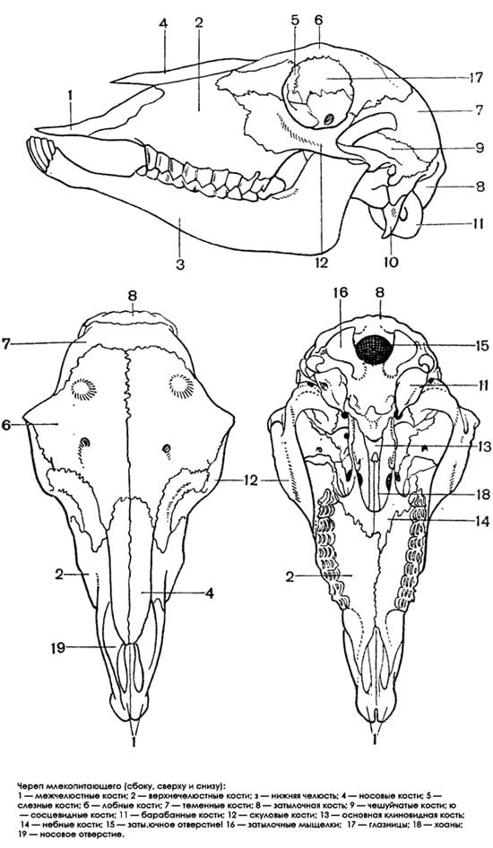 Череп млекопитающего, черно-белый рисунок картинка