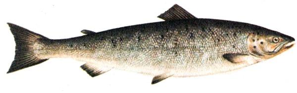 Сёмга, семга лосось (Salmo salar), рисунок картинка лососевые рыбы