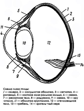 Схема глаза птицы, рисунок