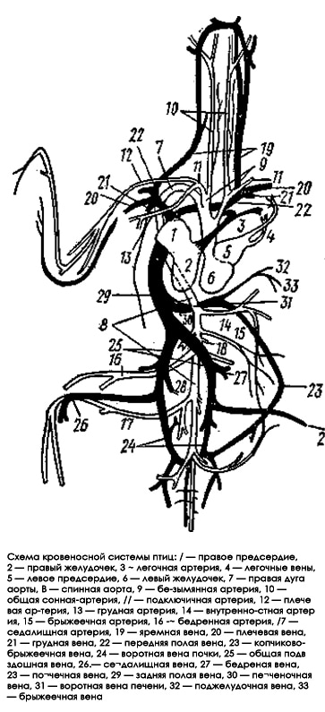 Схема кровеносной системы птиц