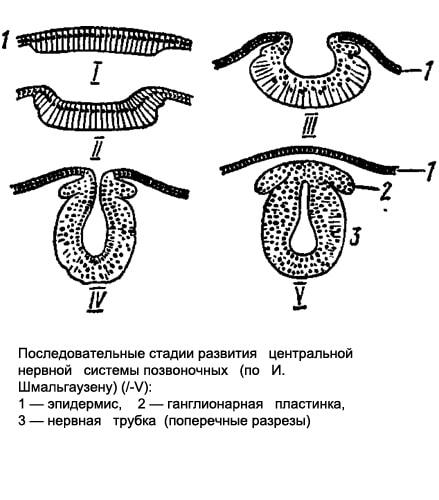 Последовательные стадии развития центральной нервной системы позвоночных животных, рисунок картинка схема.