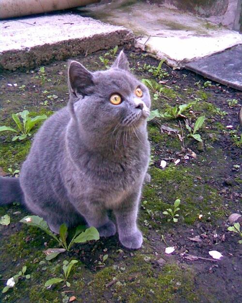 Анна и британская голубая кошка плюша