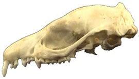 ����� �������� ��� (Hemiechinus auritus), ����, ����������