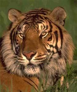 Тигр, фото фотография, дикие животные хищники