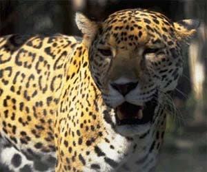 Леопард, пантера (Felis pardus, Panthera pardus), фотография фото, дикие кошки хищники