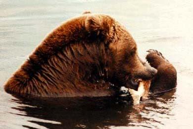 Бурый медведь, фото, фотография, хищники