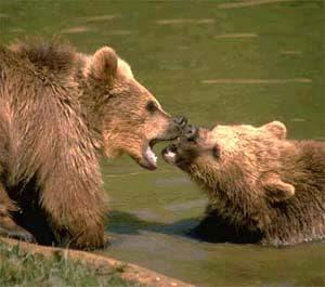 Бурый медведь, фото фотография, хищники
