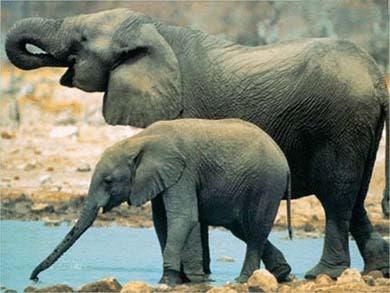 Слониха со слоненком, фото фотография