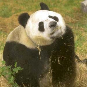 панда, панда малая (Ailurus fulgens), фото, фотография