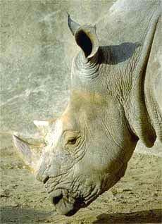 Носорог, фото фотография, непарнокопытные