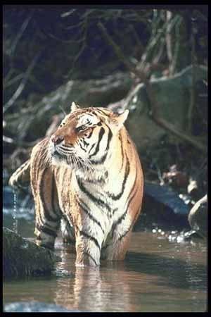 Тигр, фото фотография, дикие животные кошки