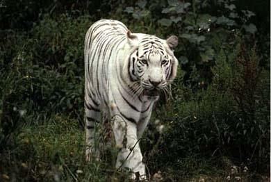 Белый тигр, фото фотография