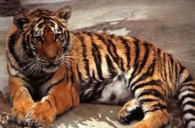 Тигр, амурский тигр, уссурийский тигр (Panthera tigris), фото, фотография