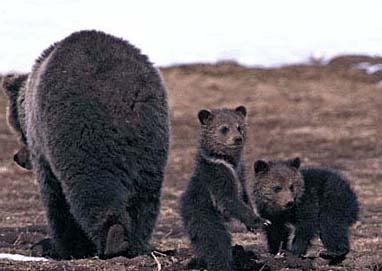 Медведи, фото фотография, дикие животные хищники