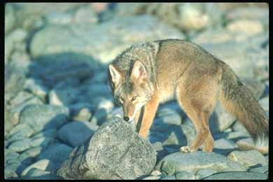 Волк, фото, серый волк (Canis lupus), фотография