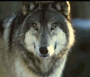 Волк серый волк canis lupus фото