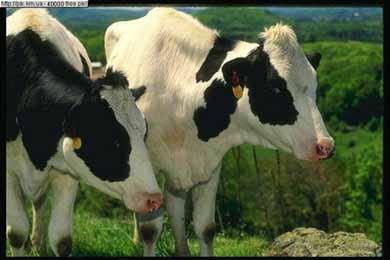 Домашняя корова, фото фотография, полорогие парнокопытные