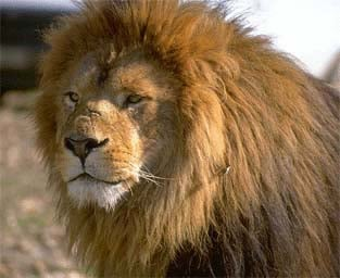 Лев (Panthera leo), фото фотография, хищники