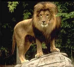 Лев (Panthera leo, Felis leo) фото фотография, хищники дикие кошки