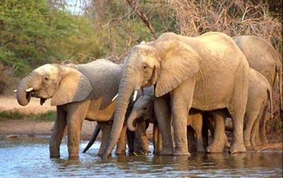 Слоны, хоботные, фото фотография