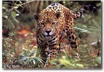 ягуар (Felis оnса), фотография