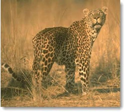 леопард, пантера (Felis pardus, Panthera pardus), фото, фотография
