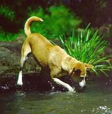 Динго австралийский динго canis dingo