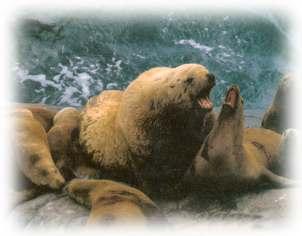 сивуч, морской лев (Eumetopias jubatus), фото, фотография сивуча