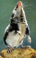 обыкновенная кутора, кутора обыкновенная, фото, фотография (Neomys fodiens)