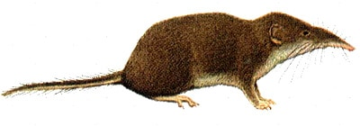 малая белозубка, белозубка малая (Crocidura suaveolens), картинка рисунок с http://www.ittiofauna.org/provinciarezzo/caccia/tabelle_specie/insettivori/crocidura_minore/images/crocidura_suaveolens.jpg