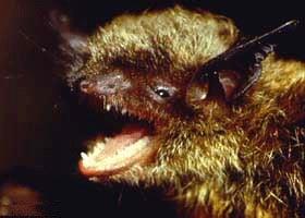 ночница Брандта (Myotis brandti), летучая мышь, фото, фотография