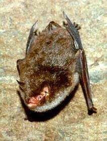 водяная ночница (Myotis daubentoni), летучая мышь, фото, фотография