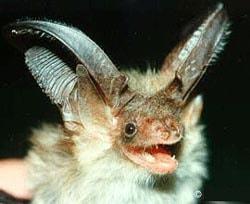 бурый ушан, ушан (Plecotus auritus), фото, фотография