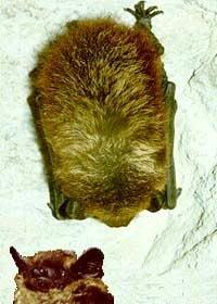 cеверный кожанок, кожанок северный (Eptesicus nilssoni), летучая мышь, фото, фотография