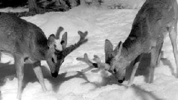 сибирская косуля, косуля сибирская (Capreolus capreolus), фото, фотография