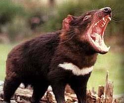 тасманийский дьявол (Sarcophilus harrisii), сумчатый волк, фото, фотография