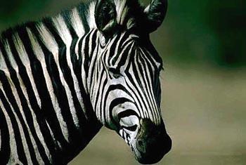 зебра, фото, фотография