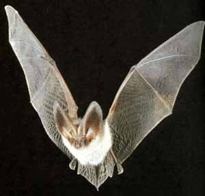 Летучая мышь фото фотография
